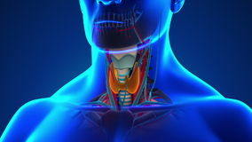 Anatomy of Human Thyroid - Medical X-Ray Scan