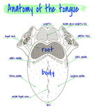 Anatomy of the human tongue Royalty Free Stock Image