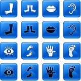 Anatomy icons. Collection of blue square glossy anatomy rollover buttons isolated on white Royalty Free Stock Images