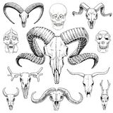 Anatomy Illustration. Engraved Hand Drawn In Old Sketch And Vintage Style. Skull Set Or Skeleton. Bull And Mountain Goat Royalty Free Stock Photography
