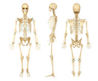 Anatomy illustration of a human skeleton Stock Image