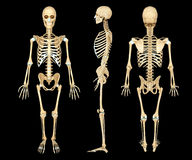 Anatomy illustration of a human skeleton Stock Photos