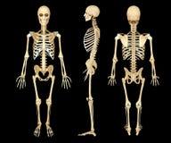 Anatomy illustration of a human skeleton Stock Photos