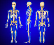 Anatomy illustration of a human skeleton Stock Photo