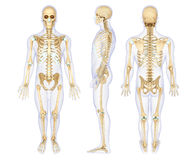 Anatomy illustration of a human skeleton Royalty Free Stock Photography