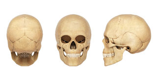 Anatomy illustration of a human Skull Stock Photos