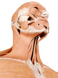 Anatomy illustration - neck muscles Royalty Free Stock Photography