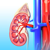 Anatomy of kidney. 3D art illustration of anatomy of kidney in blue background Royalty Free Stock Photography