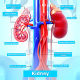 Anatomy of kidney in blue Royalty Free Stock Images