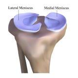 Anatomy of the knee bone. The Illustration Anatomy of the knee bone on a white background Royalty Free Stock Photo
