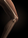 Anatomy of the knee Royalty Free Stock Photos