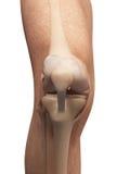 Anatomy of the knee Stock Photo