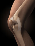 Anatomy of the knee Royalty Free Stock Images