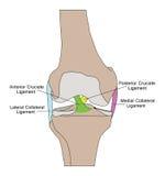 Anatomy of the knee Stock Photos