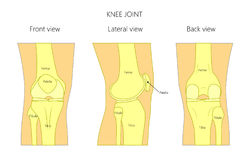 Anatomy1_Knee. Vector illustration anatomy of a healthy human knee joint isolated on white background. Front, back and side or lateral view of the knee joint Stock Photos