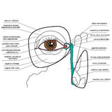 Anatomy of the lacrimal apparatus Royalty Free Stock Photography