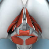 Anatomy of Larynx. Showing the mechanism of vocal cards, breath and swallowing Royalty Free Stock Images