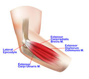 Anatomy of the Lateral Elbow. And Muscle Extensor Group on the white background stock illustration