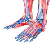 Anatomy of leg and foot Stock Photo