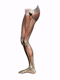 Anatomy a leg, transparent with skeleton. Royalty Free Stock Photography
