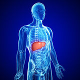 Anatomy of liver. 3d art illustration of anatomy of liver Stock Image