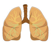 Anatomy of the  Lung Royalty Free Stock Photos
