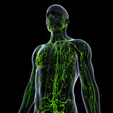 Anatomy of lymphatic system. Human anatomy illustration of the lymphatic system Royalty Free Stock Images