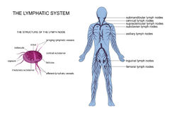 Anatomy of the lymphatic system. Vector illustration of anatomy of the lymphatic system stock illustration