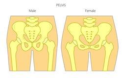 Anatomy_Male和女性骨盆 向量例证