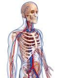 Anatomy of male body circulatory system stock illustration