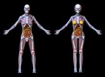Anatomy Male Female - isolated on black Stock Photography