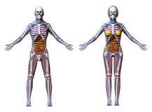 Anatomy Male Female - isolated on white Royalty Free Stock Images