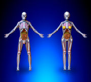 Anatomy Male Female Royalty Free Stock Photography