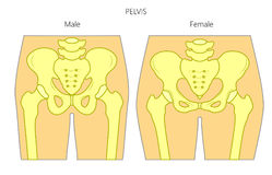 Anatomy_Male and female pelvis. Vector illustration of a human pelvis. Difference in anatomy of male and female pelvis. Front view of pelvis. For advertising and Stock Photography