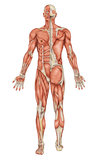 Anatomy of male muscular system Stock Photography