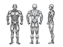 Anatomy of male muscular system, exercise and muscle guide. Stock Photos