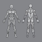 Anatomy of male muscular system, exercise and. Muscle guide. Human muscles vector art, front view, back view. Vector illustration Stock Photography