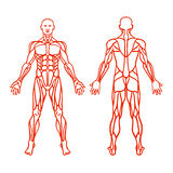 Anatomy of male muscular system, exercise and muscle guide. Human muscles vector art, front view, back view. Vector illustration vector illustration