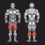 Anatomy of male muscular system, exercise and muscle guide. Human muscles vector art, front view, back view. Vector illustration Royalty Free Stock Photos