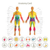 Anatomy of male muscular system. Front and rear view. Medical human organs icon set. Stock Photo