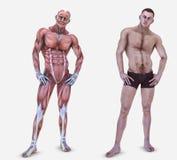 Anatomy of a man Royalty Free Stock Photos