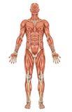 Anatomy of man muscular system Stock Photos