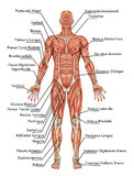 Anatomy of man muscular system. Anterior view – didactic stock illustration