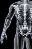 Anatomy Royalty Free Stock Photography