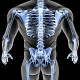Anatomy Royalty Free Stock Image