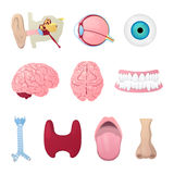 Anatomy Medical Poster with Head Organs Eye, Brain, Nose and Ear Stock Photo