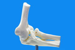 Anatomy model from human elbow. On blue background stock image