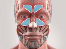 Anatomy model showing sinus infection. Royalty Free Stock Image