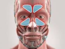 Anatomy model showing sinus infection. On plain studio background Royalty Free Stock Image