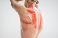 Anatomy of muscle body - 3D Rendering. Anatomy of muscle body - human - 3D Rendering Royalty Free Stock Photography